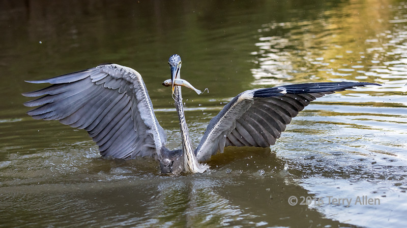 """Got it!<br /> <br /> Cocoi heron catches a fish in the Pixaim River.  <br /> I'm not used to seeing heron fishing in such deep water.  Here in BC the Great blue herons that I've seen are fishing in much shallower water.<br /> <br /> Other photos of large birds in the Pantanal can be seen here, including a nice sequence of Jabiru storks: <a href=""""http://goo.gl/sbAjLU"""">http://goo.gl/sbAjLU</a><br /> <br /> 15/04/15  <a href=""""http://www.allenfotowild.com"""">http://www.allenfotowild.com</a>"""