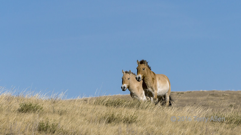 """Running free<br /> <br /> Mare and stallion, Przewalskii's horse, Hustai National Park, Mongolia<br /> <br /> After disappearing from the wild in the 1960s, this rare wild hose was reintroduced to the wild in 1992 and subsequently after breeding from a few captive individuals descended from wild animals captured around 1900.<br /> <br /> 04/09/15  <a href=""""http://www.allenfotowild.com"""">http://www.allenfotowild.com</a>"""
