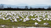 Ten of thousands of snow geese (best larger)