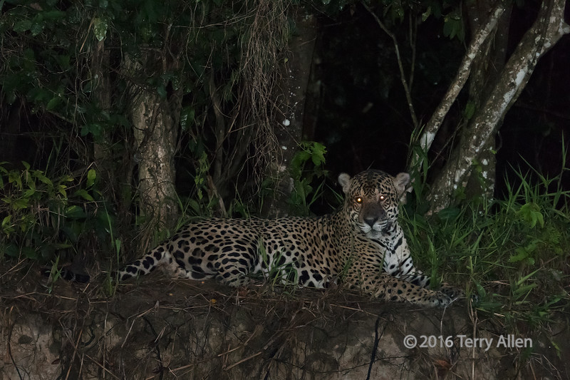 """Night cat (best larger)<br /> <br /> Jaguar at night with glowing eyes, Rio Cuiaba river bank, Pantanal, Brazil<br /> <br /> Other shots of the jaguar and of a caiman can be seen here: <a href=""""http://goo.gl/oiqynH"""">http://goo.gl/oiqynH</a><br /> <br /> 18/05/15  <a href=""""http://www.allenfotowild.com"""">http://www.allenfotowild.com</a>"""