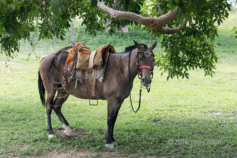 """Portrait of a working horse, Fazenda Saint Tereza, Pantanal, Brazil<br /> <br /> Other photos of the fauna from the area can be seen here: <a href=""""http://goo.gl/MWkxRo"""">http://goo.gl/MWkxRo</a><br /> <br /> 19/03/15  <a href=""""http://www.allenfotowild.com"""">http://www.allenfotowild.com</a>"""