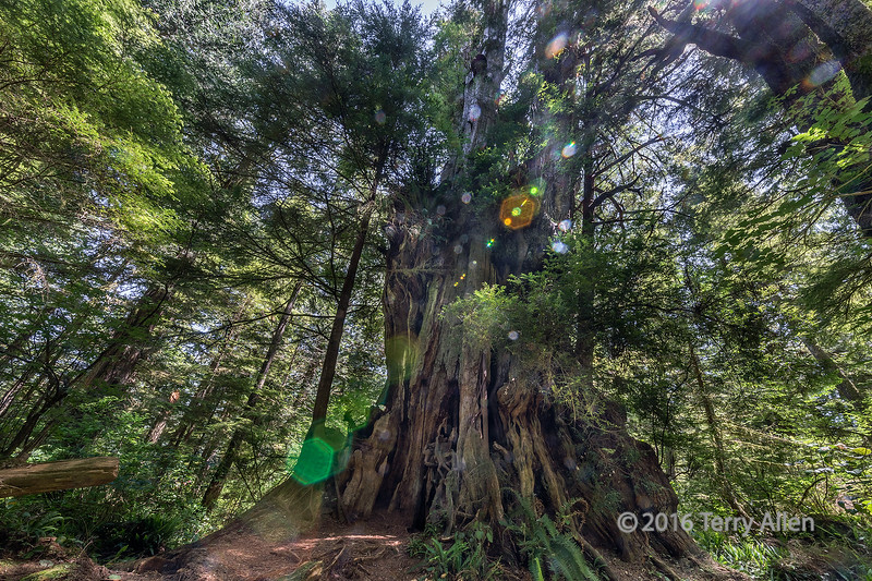 Hanging Garden tree with lens flare (best larger)<br /> <br /> This ancient giant is festooned with ferns and other growth giving it the nickname Hanging Garden tree.  It is a Western Red Cedar, estimated to be 1000-1500 years old, with a circumference of 20 ft.  It is one of the famous old trees on Meares Island, off the west coast of Vancouver Island, now a protected site.<br /> <br /> Photographing the huge trees and the lush environment of the north temperate rainforest is an interesting challenge.  The trees are up to several hundred feet high and the only sight lines to the top are when you are standing ony a few feet from the base of the tree; this means using a very wide angle lens.  There is very little light penetrating to the forest floor, requiring a long exposure, and to get good depth of field and good resolution I used a high aperture (f20), and a low ISO.  I was shooting with a tripod, but long exposures in the woods required almost no breeze otherwise the smaller branches, leaves, ferns, etc. become blurred.  This makes shooting HDR difficult, and although I was bracketing, often the HDR merge shots showed the blur.   Since I was shooting RAW files, I often just choose the best average exposure and took care of the highlights and shadows in Adobe Camera Raw.  Because the trees are so tall, I was shooting almost straight up and often into the sun, which gave very contrasty light.  Hence the lens flare in this image, which I rather like for the enchanted feeling it gives to this ancient scene.  I'm still not completely happy that I am capturing the full impact of these big trees with a still photo...maybe it requires video.<br /> <br /> These shots are especially apt right now since we are in a record drought here on the West Coast, and the trees start to suffer from lack of rain.  It's hard to maintain a rain forest without rain, and the forests are tinder dry. We now have many forest fires, some out of control and threatening towns.   The air is ful