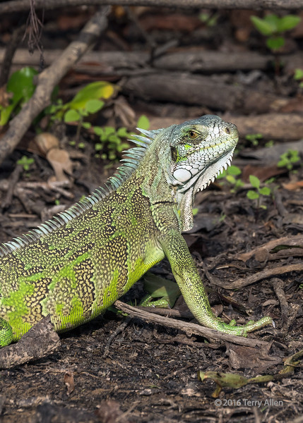 """Green iguana (Iguana iguana) in the wild (best larger)<br /> <br /> Other photos of the Pantanal wildlife can be seen here: <a href=""""http://goo.gl/HeuXmo"""">http://goo.gl/HeuXmo</a><br /> <br /> 13/02/15  <a href=""""http://www.allenfotowild.com"""">http://www.allenfotowild.com</a>"""