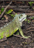 "Green iguana (Iguana iguana) in the wild (best larger)<br /> <br /> Other photos of the Pantanal wildlife can be seen here: <a href=""http://goo.gl/HeuXmo"">http://goo.gl/HeuXmo</a><br /> <br /> 13/02/15  <a href=""http://www.allenfotowild.com"">http://www.allenfotowild.com</a>"