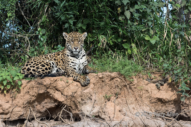 """Ready for action (best larger)<br /> <br /> Jaguar keeping watch from the river bank, Rio Cuiaba, Pantanal, Brazil<br /> <br /> Other wildlife photos from the river can be seen here: <a href=""""http://goo.gl/y4ylCW"""">http://goo.gl/y4ylCW</a><br /> <br /> 13/07/15  <a href=""""http://www.allenfotowild.com"""">http://www.allenfotowild.com</a>"""