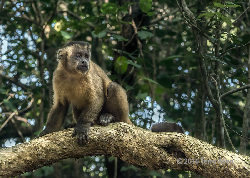 """Brown capuchin monkey (Cebus apella) on a sunny branch<br /> <br /> One of a group of wild monkeys near Fazenda Saint Tereza, Pantanal, Brazil<br /> <br /> Other shots from the area (monkey, birds) can be seen here: <a href=""""http://goo.gl/QUHVzZ"""">http://goo.gl/QUHVzZ</a><br /> <br /> 21/03/15  <a href=""""http://www.allenfotowild.com"""">http://www.allenfotowild.com</a>"""