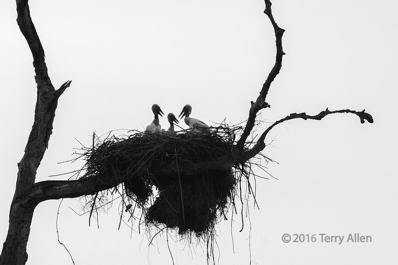 "Baby storks (best larger)<br /> <br /> I thought this stork nest with the 3 babies near the top of a dead tree made an interesting silhouette.  Notice the parrot under the nest.<br /> <br /> Other images taken along the highway can be seen here <a href=""http://goo.gl/lx4MBP"">http://goo.gl/lx4MBP</a><br /> <br /> 24/04/15  <a href=""http://www.allenfotowild.com"">http://www.allenfotowild.com</a>"