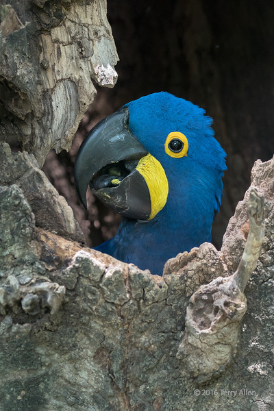 """Peeking out<br /> <br /> Hyacinth macaw (Anodorhynchus hyacinthinus) looking out from its nest in a hollow tree, Porto Joffre, Rio Cuiaba, Pantanal, Brazil<br /> <br /> Other photos of this beautiful wild bird and its mate can be seen here: <a href=""""http://goo.gl/bCn13B"""">http://goo.gl/bCn13B</a><br /> <br /> 26/04/15  <a href=""""http://www.allenfotowild.com"""">http://www.allenfotowild.com</a>"""