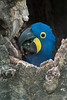 "Peeking out<br /> <br /> Hyacinth macaw (Anodorhynchus hyacinthinus) looking out from its nest in a hollow tree, Porto Joffre, Rio Cuiaba, Pantanal, Brazil<br /> <br /> Other photos of this beautiful wild bird and its mate can be seen here: <a href=""http://goo.gl/bCn13B"">http://goo.gl/bCn13B</a><br /> <br /> 26/04/15  <a href=""http://www.allenfotowild.com"">http://www.allenfotowild.com</a>"