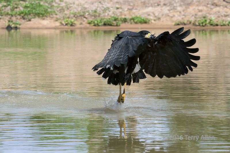 """Nice catch!<br /> <br /> Common black hawk catches a fish, Pixaim River, Pantanal, Brazil<br /> <br /> Some more photos of the action (all best larger) can be seen here: <a href=""""http://goo.gl/2ePDvC"""">http://goo.gl/2ePDvC</a><br /> <br /> 12/01/14  <a href=""""http://www.allenfotowild.com"""">http://www.allenfotowild.com</a>"""