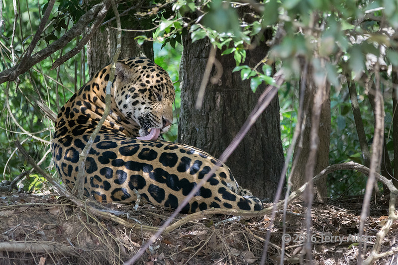 """Jaguar (Panthera onca) grooming itself<br /> <br /> Rio Cuiaba, Pantanal, Brazil<br /> <br /> Shooting an elusive species such as jaguar involves long hours of searching, since they are very well camouflaged in the dappled light of the bushes and almost impossible to spot.  And then, when you are lucky enough to spot one, even longer hours of waiting for the animal to come out into the open, or wake up and do something 'interesting'.  This is one such example. For long periods of time this magnificent animal was lying mostly obscured in the shade on the top of the river bank.  You have to stay alert with your camera ready since you never know when some action will occur.  In this case, the jaguar briefy woke up and groomed itself (when I got this shot), and then fell asleep again.  <br /> <br /> Mostly you get shots like the ones seen here, which will never win any prizes, but give a good feeling for the animal in its natural environment: <a href=""""http://goo.gl/yE1zu7"""">http://goo.gl/yE1zu7</a><br /> <br /> 27/06/15  <a href=""""http://www.allenfotowild.com"""">http://www.allenfotowild.com</a>"""