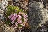 Arctic blossoms