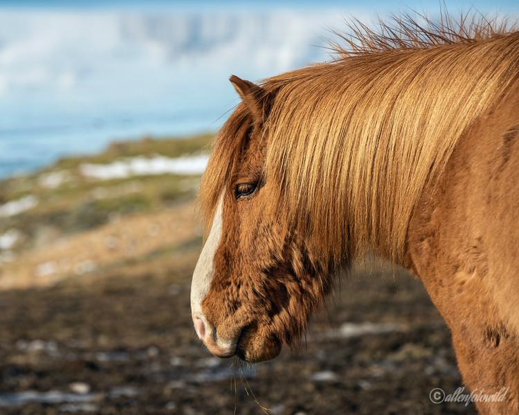 Portrait of an Icelandic horse