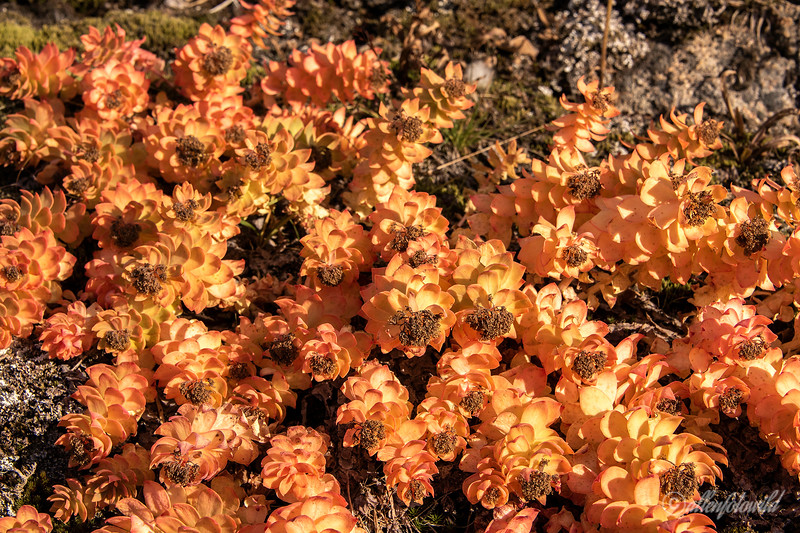 Golden root in fall colours