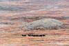 Glacial drumlin with muskoxen