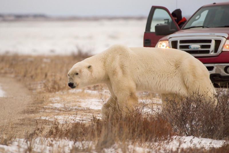 Polar bears rule