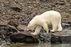 Polar bear yawn