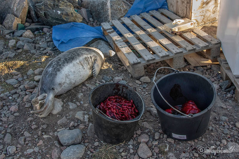 Dinner for the sled dogs