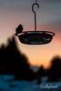 Sunrise hummingbird