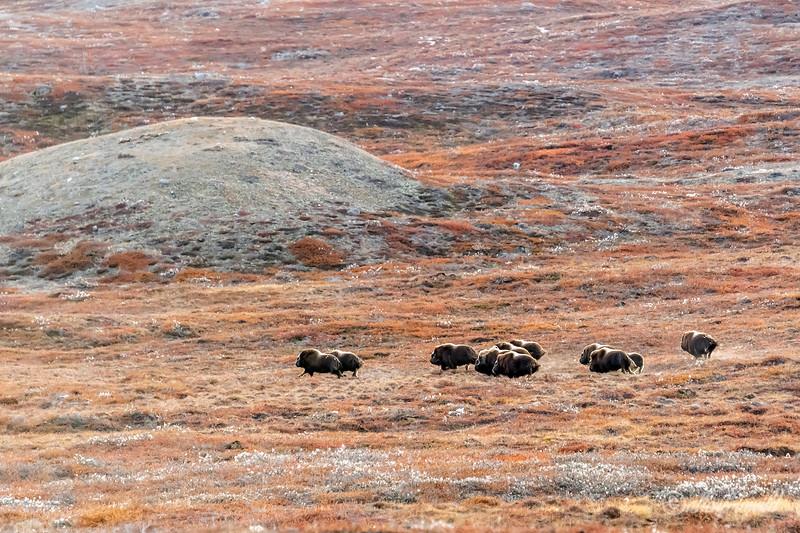 Muskoxen in cotton grass