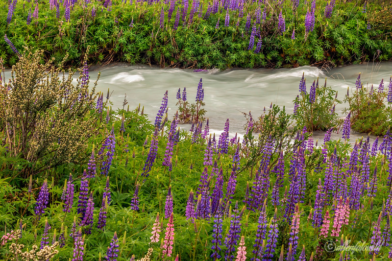 Islands of lupines