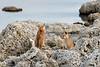 Puma kittens
