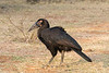 Juvenile Southern Ground Hornbill