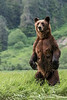 Mother grizzly standing tall