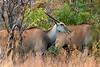 Cape bushbuck