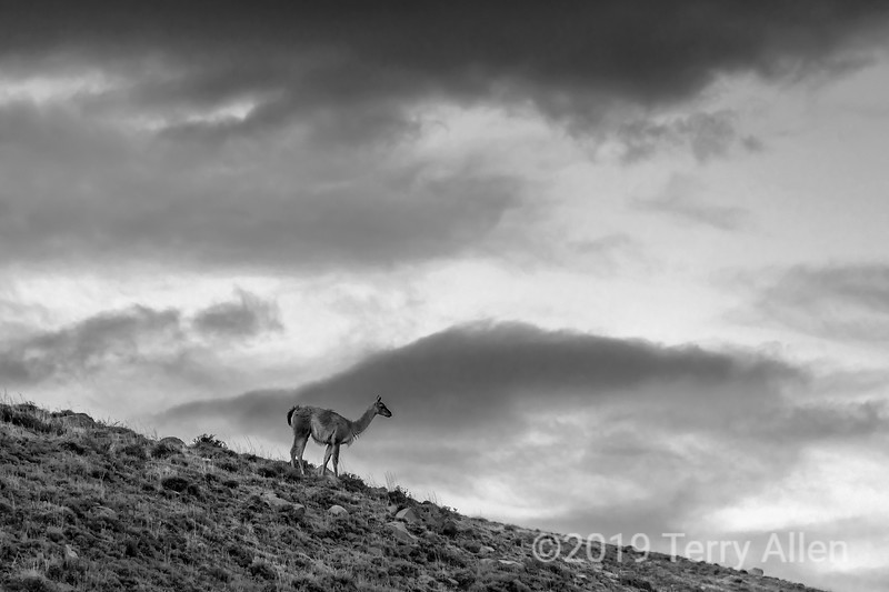 Guanaco with storm clouds