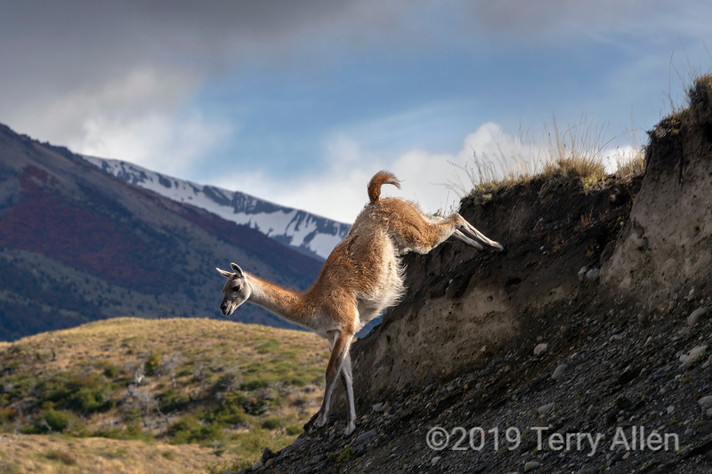 Leaping guanaco