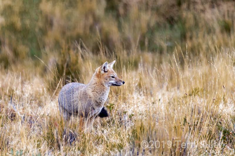 Hopeful fox