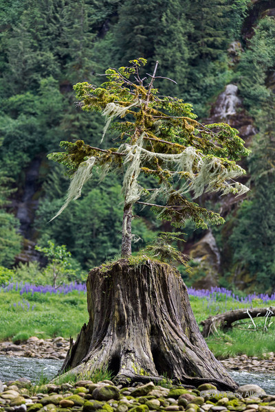 """Bearded tree<br /> <br /> Small tree growing out of old stump on the shores of Mussel Creek.  The tree is already covered with old man's beard lichen and moss.  Lupines are growing in the background.  Mid-coast British Columbia<br /> <br /> Other photos of Mussel Creek can be seen here: <a href=""""http://goo.gl/jTP7T2"""">http://goo.gl/jTP7T2</a><br /> <br /> 11/10/13  <a href=""""http://www.allenfotowild.com"""">http://www.allenfotowild.com</a>"""