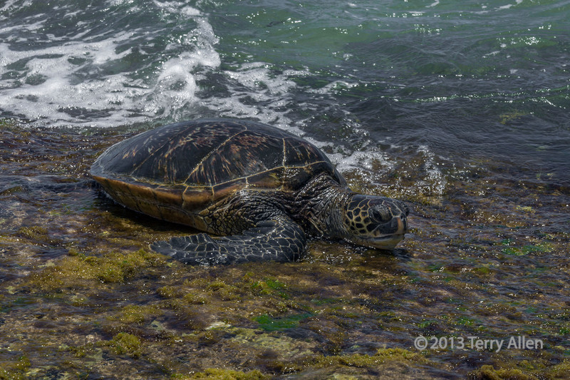 "Lunch time!<br /> <br /> Green sea turtle coming ashore to feed on algae and seaweed, Turtle Bay, Oahu, Hawaii<br /> <br /> Turtle Bay is a popular beach for the green sea turtles to come up onto the reef flat and feed. It is fascinating to see them chowing down on the sea weed.  However there is a downside. Nitrogen-rich run-off from sewage and farms promotes the growth of an invasive seaweed that is reported to cause a herpes-like turtle virus to come out of dormancy.  When this happens the active herpes virus causes the growth of fibropapilloma tumours on the turtles, which can be fatal.  <br /> <br /> An example of green sea turtle fibropapillomatosis can be seen here: <a href=""http://goo.gl/vD067y"">http://goo.gl/vD067y</a>"