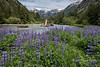 """Beautiful, Natural, British Columbia (best seen at large sizes)<br /> <br /> Mussel Creek with lupines and snowfields, Fiordlands Conservancy, mid-coast British Columbia. This is part of the vulnerable area in danger of destruction from an oil spill if oil tanker traffic down the coast increases if/when the Northern Gateway Pipeline is built.  Information about the Fiordlands can be found here: <a href=""""http://www.env.gov.bc.ca/bcparks/explore/parkpgs/fiordland/"""">http://www.env.gov.bc.ca/bcparks/explore/parkpgs/fiordland/</a><br /> <br /> For other photos of this beautiful area click here: <a href=""""http://goo.gl/cW59nx"""">http://goo.gl/cW59nx</a><br /> <br /> 12/10/13  <a href=""""http://www.allenfotowild.com"""">http://www.allenfotowild.com</a>"""