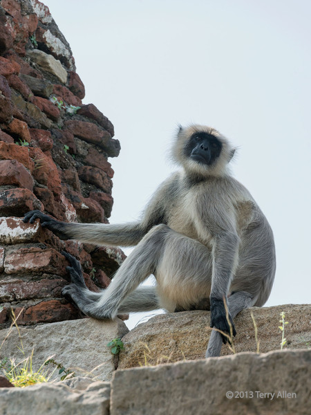 """Gray langur monkey <br /> <br /> These are large handsome monkeys with black faces that hang out on the walls of the royal enclosure, Champaner, Gujurat<br /> <br /> Some photos of the two most famous mosques at Champaner can be seen here: <a href=""""http://goo.gl/aLGDck"""">http://goo.gl/aLGDck</a><br /> <br /> 2/10/13  <a href=""""http://www.allenfotowild.com"""">http://www.allenfotowild.com</a>"""