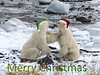 """MERRY CHRISTMAS!  <br /> <br /> Best wishes to all my fellow smugmuggers for a wonderful Christmas. May you all receive your photo wishes!<br /> <br /> Two polar bears, shot on foot at close range, at the remote Seal River Lodge on Hudson's Bay, a half hour flight north of Churchill, Manitoba.  As shot, except for the hats and the lettering.<br /> <br /> Please protect the bears' endangered polar environment by helping to fight climate change.<br /> <br /> 24/12/13   <a href=""""http://www.allenfotowild.com"""">http://www.allenfotowild.com</a>"""