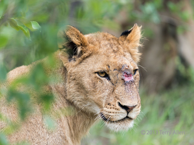 Lioness with wound on face, Ngala, South Africa<br /> <br /> Several times I have mentioned that zoo animals look so well groomed compared to animals in the wild.  This lioness was a member of a large pride of lions, and appears to have been kicked in the face, maybe by an impala or zebra.  The wound appeared clean and to be healing nicely, and she was otherwise in good shape, although not pretty to look at.