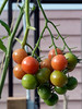 """'T' is for tempting, tasty, tender tomato's from Terry's garden.<br /> <br /> I still have 3 pots of cherry tomatoes in the greenhouse....the latest I've been able to keep tomatoes to date, thanks to a late fall and more sunshine than usual.  Fresh organic tomatoes to go with dinner tonight!  I actually forgot that I had tarragon and thyme in the herb garden for alternate 'T's, as well as sage for an alternate 'S'.<br /> <br /> I have no veggies or flowers left in the garden that start with u,v,w,x,y or z (my vinca and my zuccini froze), so I think that this is the end of my garden alphabet for this year, unless I get a brain wave.<br /> <br /> 24/11/13  <a href=""""http://www.allenfotwild.com"""">http://www.allenfotwild.com</a>"""