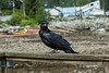 """Portrait of a raven (best large)<br /> <br /> The raven is one of the totemic figures of the people of Klemtu, BC.  I was lucky to find this beautiful bird sitting on the railing by the harbour posing for his picture.<br /> <br /> Another raven photo and photos of the Klemtu Big House with its wonderful carvings can be seen here: <a href=""""http://goo.gl/hnS3Q4"""">http://goo.gl/hnS3Q4</a><br /> <br /> 1/10/13  <a href=""""http://www.allenfotowild.com"""">http://www.allenfotowild.com</a>"""