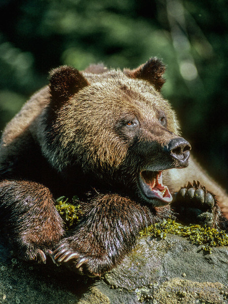 """Yawning grizzly, Khutzeymateen grizzly sanctuary, BC<br /> <br /> I am posting this from the Frankfurt airport.  The photo is from the area I just visited in coastal BC, but is one from my archives.  The Khutzeymateen <a href=""""http://www.env.gov.bc.ca/bcparks/explore/parkpgs/khutzeymateen/"""">http://www.env.gov.bc.ca/bcparks/explore/parkpgs/khutzeymateen/</a> is a very remote area with only a handful of visitors permitted each year.  The grizzlies have, therefore, experienced very little contact with humans and are more approachable than in areas where they have learned to fear humans.  This young grizzly had been feeding along the shore.  Photo was taken from the water from a zodiac."""