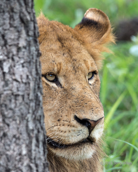 Portrait of a young lion peeking out from behind a tree, Ngala, South Africa<br /> <br /> After not seeing any lions for several days, on the last day we found a huge pride of lions on the move though the thick bush.  You could hear them all around, but only see them if they moved though a clearing.