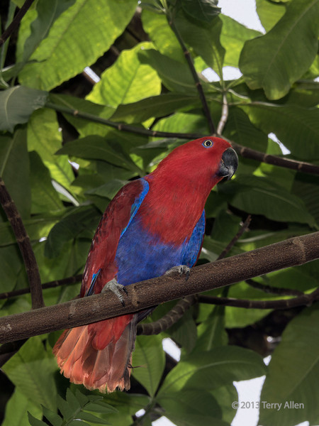 Female Eclectus parrot, Papua New Guinea.  The male is a bright green colour.