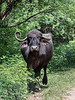 """Indian water buffalo with asymmetrical horns, Champaner, Gujarat, India<br /> <br /> This water buffalo was on a walk down a track all by itself with no sign of an owner or minder. From the size of the horns it appeared fairly old, and one horn was bent at an odd angle.<br /> <br /> Other photos from the area, including one of proud fathers and their completely disinterested children, can be seen here <a href=""""http://goo.gl/8DFMtw"""">http://goo.gl/8DFMtw</a><br /> <br /> 7/11/13  <a href=""""http://www.allenfotowild.com"""">http://www.allenfotowild.com</a>"""