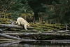 Spirit bear coming down to the river to fish for salmon, Princess Royal Island, BC<br /> <br /> Today's post is a spirit bear seen in the context of the environment that it lives in.