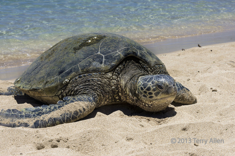 """Meet Isabella<br /> <br /> Isabella is a 250 lb green sea turtle (Chelonia mydas, an endangered species), around 30-35 years old, that hangs out on the beach at Turtle Bay, Oahu, during the summer.<br /> <br /> Since it seems to be random whether a photo will show up or not, in case some photos from today don't show up, please click here to see the other photos: <a href=""""http://goo.gl/wYNIRn"""">http://goo.gl/wYNIRn</a>"""