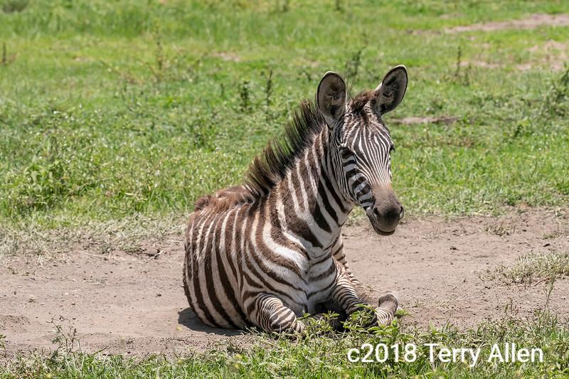'Z' is for zebra