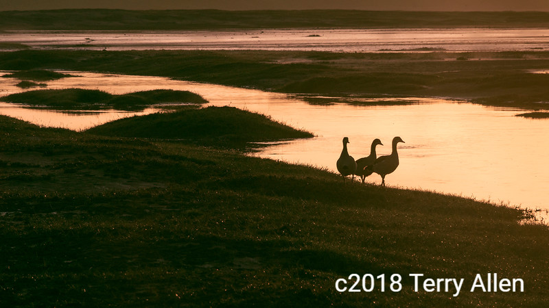Egyptian geese at sunrise