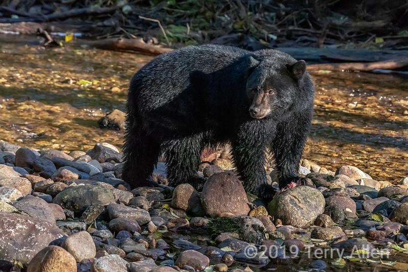 Black bear on salmon river