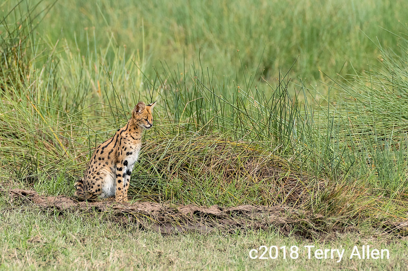 'S' is for serval
